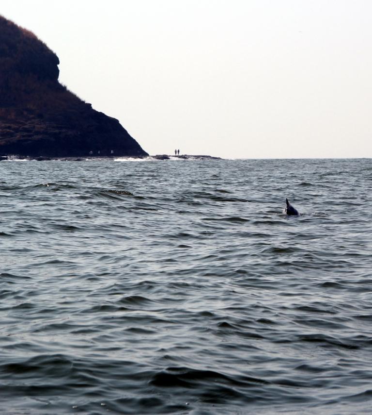 Dolphins at Harihareshwar