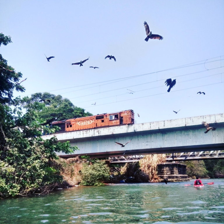 A train scatters a flock of eagles that come straight at me under a bridge over the river.